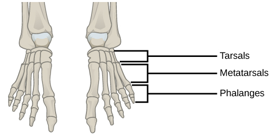 types of skeletal systems | boundless biology, Skeleton