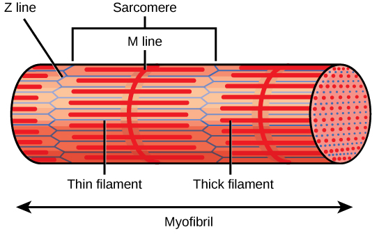This diagram of a microfibril includes the terms sarcomere, Z-line, M-line, thin filament, and thick filament.