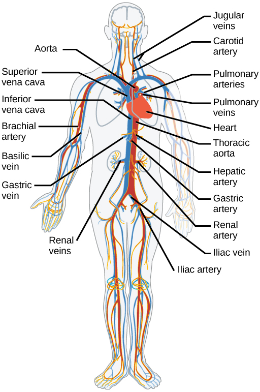 Mammalian Heart and Blood Vessels | Boundless Biology