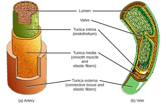Mammalian heart and blood vessels boundless biology ccuart Images