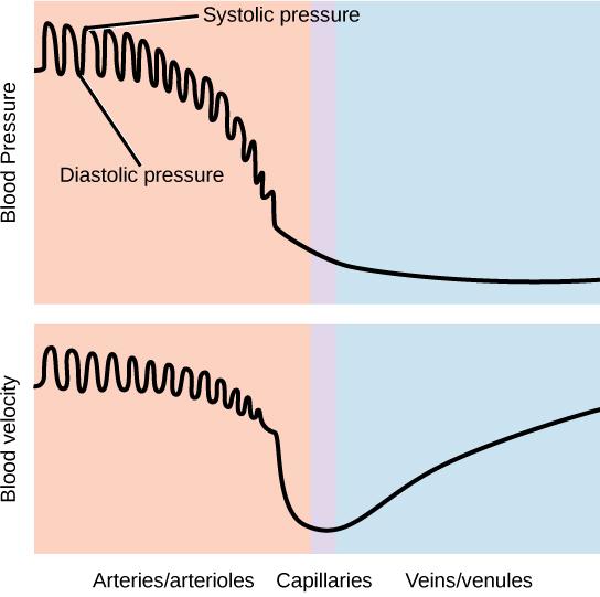 Blood Flow And Blood Pressure Regulation Boundless Biology