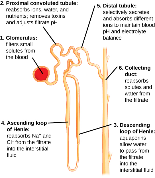 Human Osmoregulatory And Excretory Systems Boundless Biology