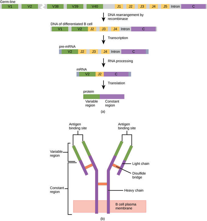 The Complement System Concept Map.Antibodies Boundless Biology