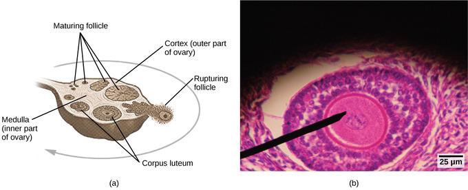 human reproductive anatomy and gametogenesis boundless biology