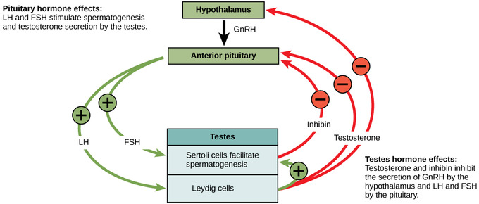 mecanism hormonal de erecție