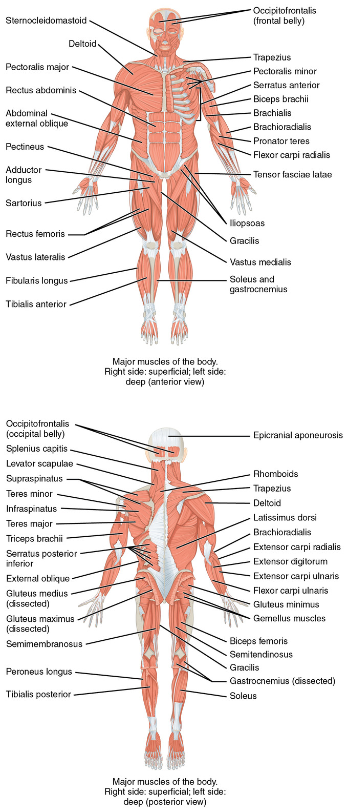 Types of skeletal systems boundless biology ccuart Images
