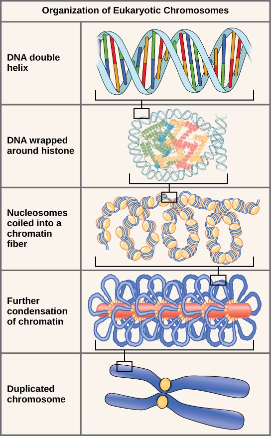Nucleic Acids | Boundless Biology