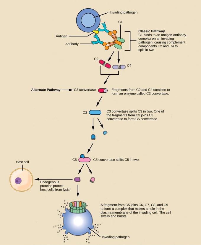 The Innate Immune Response Boundless Microbiology
