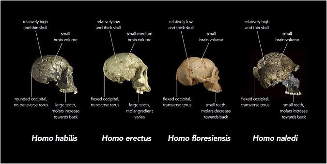 Homo habilis has a rounded occipital, no transverse torus, a relatively high and think skull, a small brain volume, large teeth, and molars that increase towards the back of the jaw. Homo erectus has a flexed occipital, a transverse torus, a relatively low and thick skull, a small-medium brain volume, large teeth, and a varying molar gradient. Homo floresiensis has a flexed occipital, a transverse torus, a relatively low and thick skull, a small brain volume, small teeth, and molars that decrease towards that back of the jaw. Homo naledi has a flexed occipital, a transverse torus, a relatively high and thin skull, a small brain volume, small teeth, and molars that increase towards the back of the jaw.