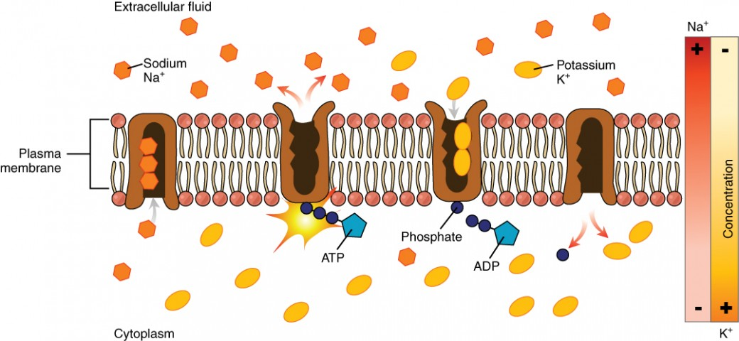 this diagram shows a sodium potassium pump embedded in the cell membrane   in the first