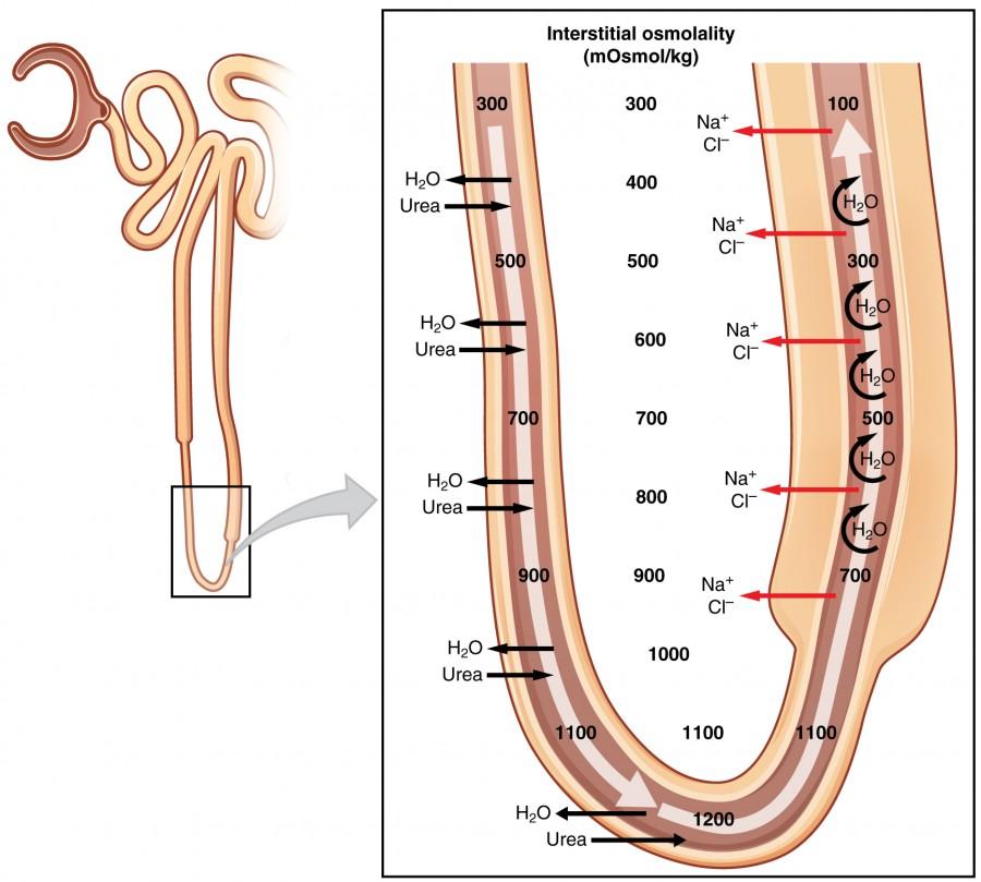 Tubular Reabsorption Anatomy And Physiology Ii